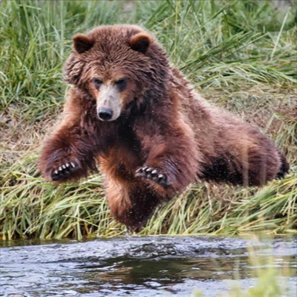Went on an excursion to view brown bears. Bears were running along the creek diving for salmon. First time I ever seen a brown bear fly!