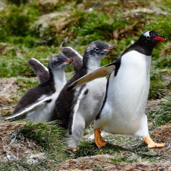 Gentoo penguins are favorites of mine and this family walked by at just the right time. It was a highlight of an exceptional cruise!